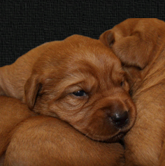 Puppies For Sale - Fox Red Labradors & German Shorthaired Pointers